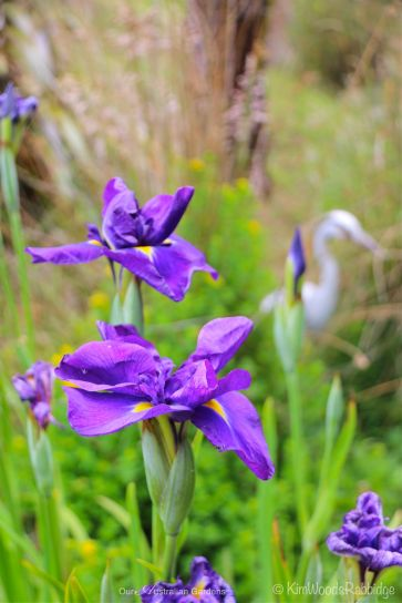 Waterside Iris