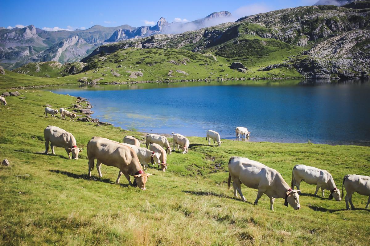 vaches de la Randonnée des lacs d'Ayous dans les Pyrénées en Vallée d'Ossau
