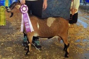 Diamond Kinder Goat