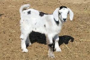 Marie Kinder Goat
