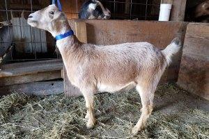 Pink Kinder Goat