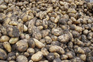Fächerkartoffeln für alle! In wenigen Minuten und ganz geringem Aufwand lassen sich die feinen Knollen zubereiten.  Foto (c) kinderoutdoor.de