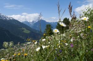 Wildkräuter frisch von der Almwiese. Am Aletschgletscher ist die Expertin Lisa Engler auf Zupfgängen unterwegs. Foto Karin Bittel Bettmeralp
