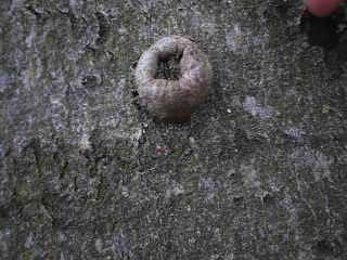 Bushcraft für Kinder und Ihr wisst, was es mit diesen Knubbeln am Baumstamm auf sich hat. foto (c) kinderoutdoor.de