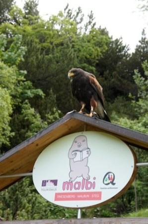Der Habicht will nur ein Leckerli auf dem Falknerhandschuh sehen und schon fliegt er los. foto (c) kinderoutdoor.de