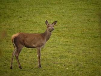 Im Wildpark bekommen die Kinder ein Tier zu sehen, dass sie sonst nur im Sprung vom Verkehrszeichen kennen: Das Reh. foto (c) kinderoutdoor.de
