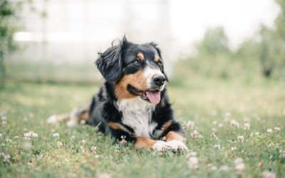 Natural Lawn Flea and Tick Control: Protecting Your Pets is Protecting You