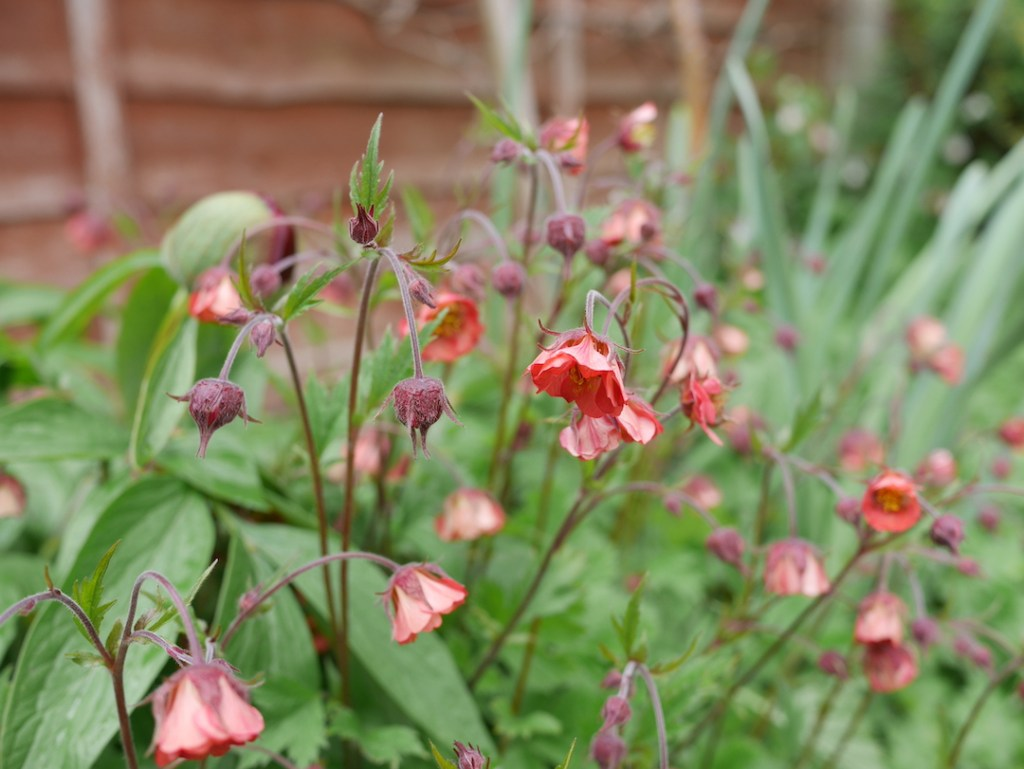 six on saturday Geum rivale