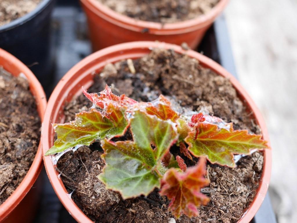 Slugs begonias six on saturday