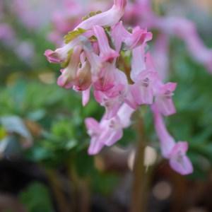 Corydalis solida 'Early Pink'