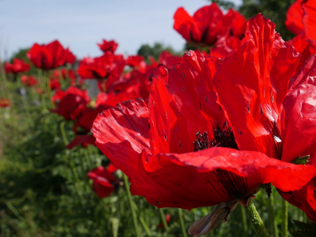 six on saturday poppies