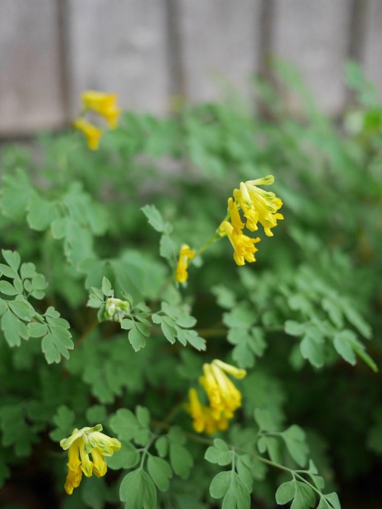 Six on Saturday Yellow Corydalis