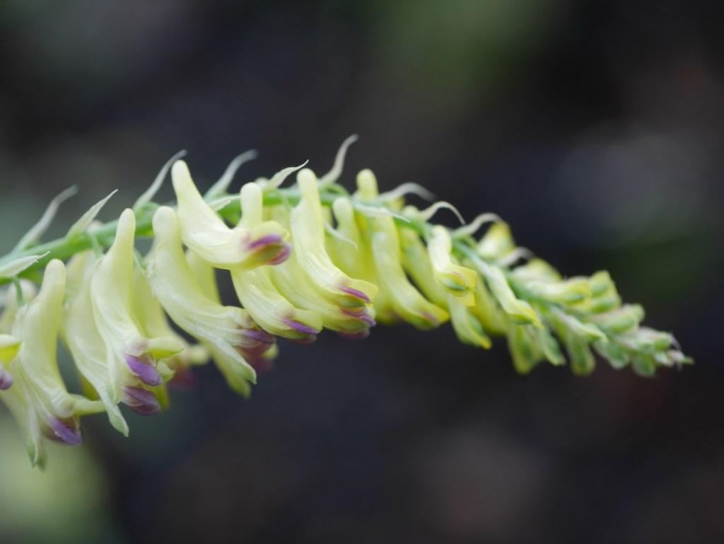 Corydalis ophiocarpa flower