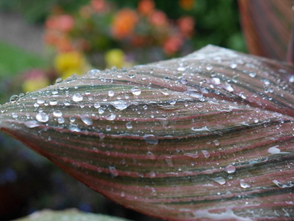 canna leaf six on saturday