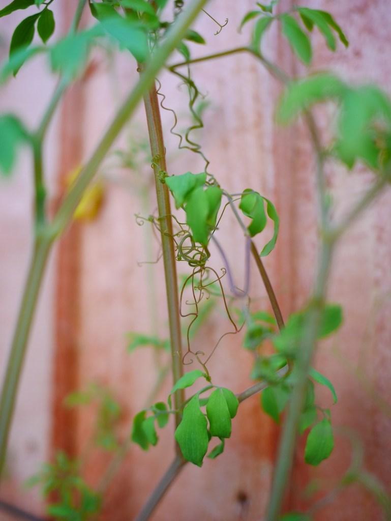 Dactylicapnos torulosa tendrils
