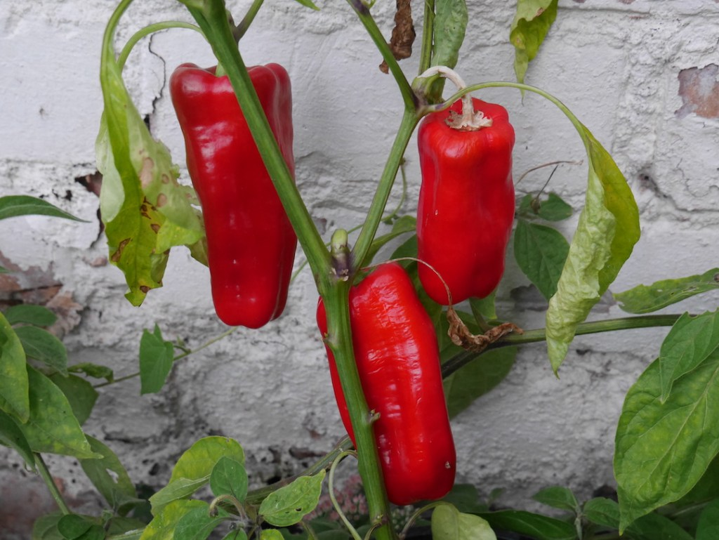 Six on Saturday peppers