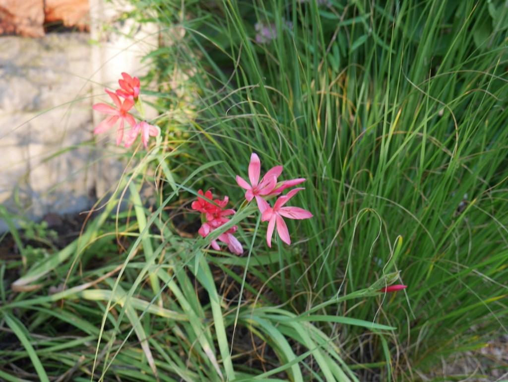 Six on Saturday hesperantha