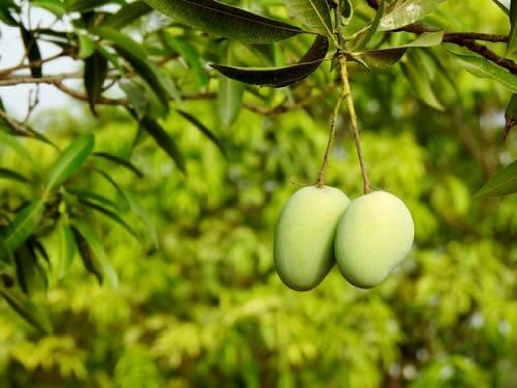 10 healthy benefits of mangoes