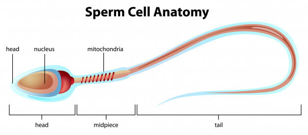 Ways to boost male fertility and increase sperm count