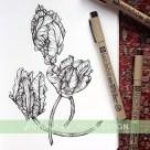parrot tulip botanical illustration