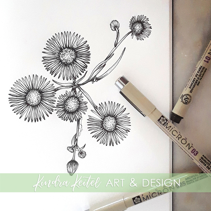 daisy fleabane botanical illustration
