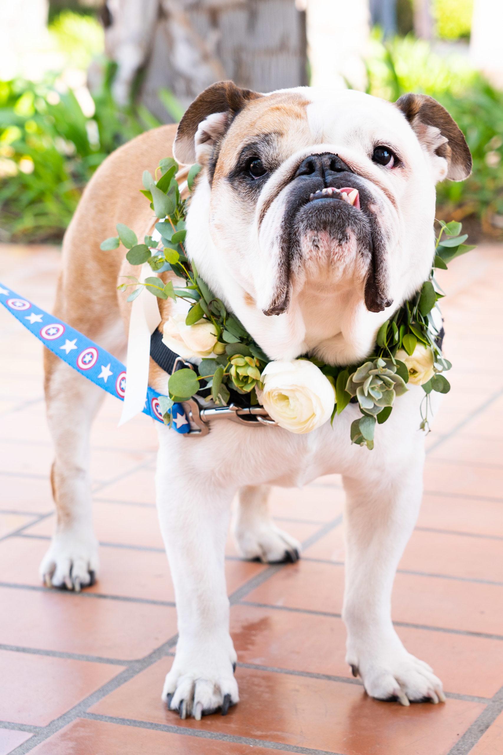 Bulldog Floral Collar Wedding