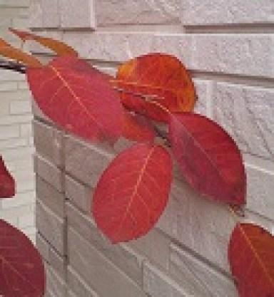 ジュンベリー紅葉