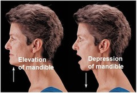TMJ - Kinesiology of the Head and Neck