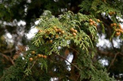 ヒノキ花粉