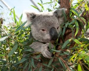 WILD_LIFE_Sydney_300_dpi_JPEG_Koala_4