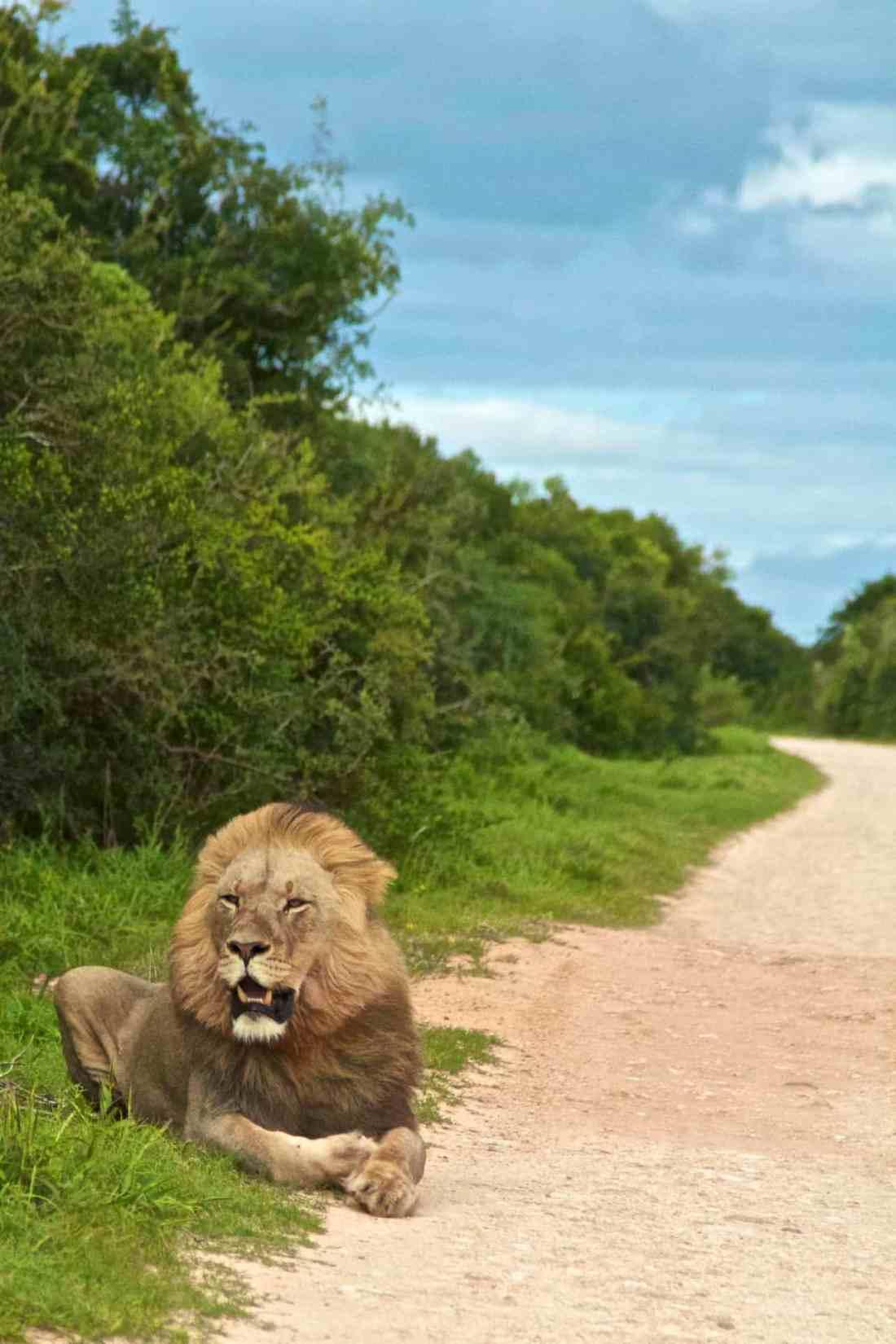 Addo Elephant Park_Lion