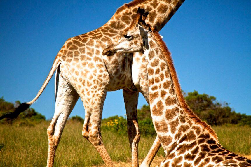 South Africa 2015_Lion Park_Port Elizabeth
