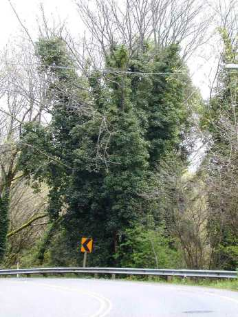 A photo of English ivy, Class C noxious weed, climbing a tree in King County, Washington.
