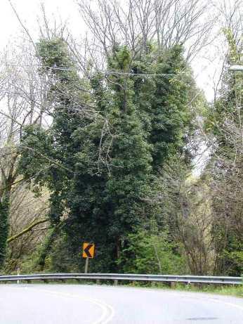A photo of English ivy, Class C noxious weed, climbing a tree in King County, Washington.