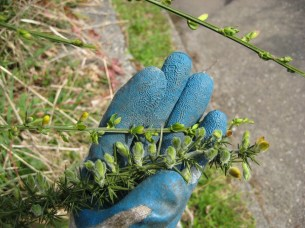 The upper stem is Scotch broom and the lower stem in gorse.