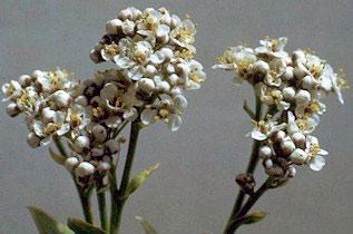 Perennial pepperweed flowers.