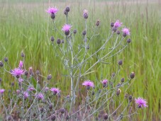 Spotted knapweed in bloom. Photo by Matt Lavin / CC BY.