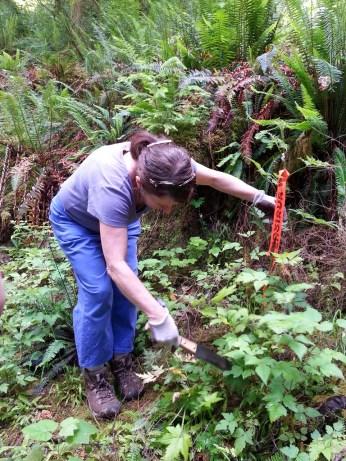 weed-watcher-digging-up-blackberry