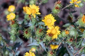 """Puget Sound gumweed has yellow composite flowers with bracts covered in a white, sticky """"gum""""—very different from perennial pepperweed's flowers. Photo courtesy of Bureau of Land Management Oregon and Washington / CC BY 2.0."""