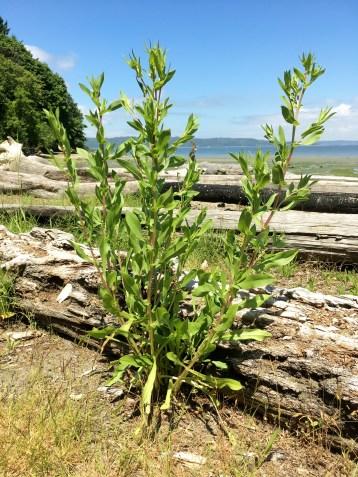 Mature Puget Sound gumweed growing at Dumas Bay Wildlife Sanctuary.