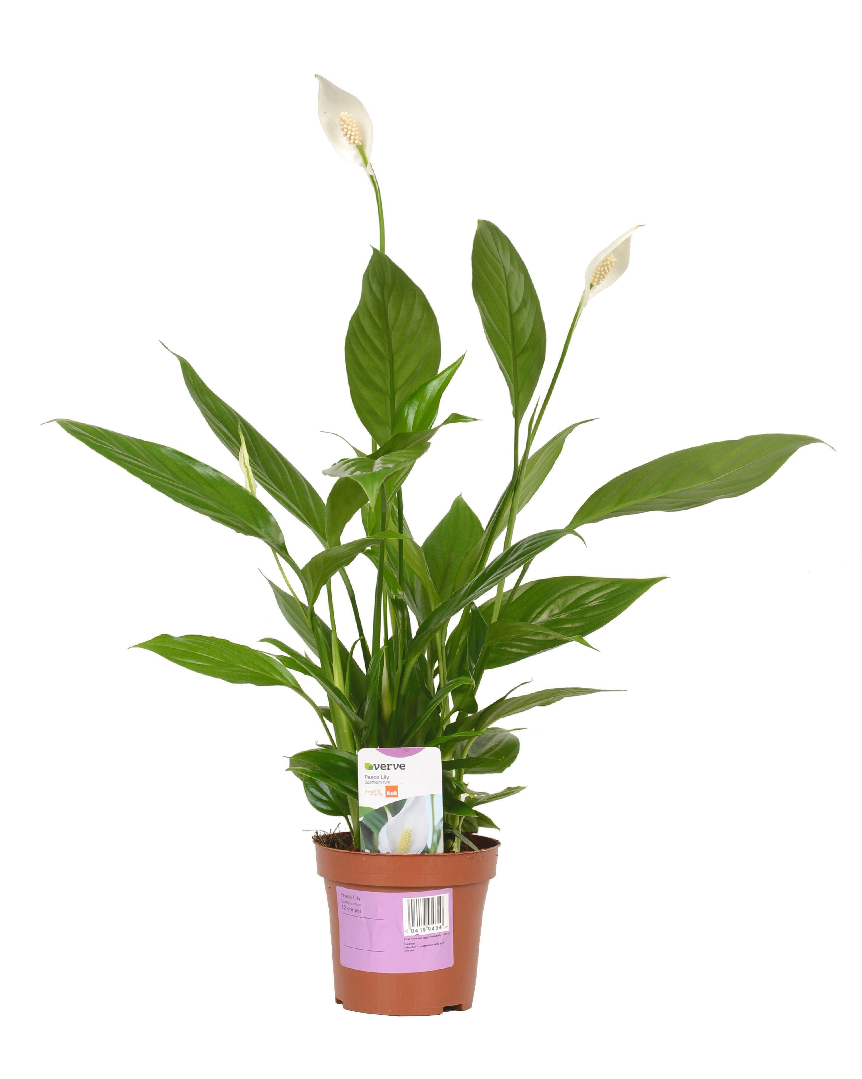 Verve Peace Lily In Plastic Pot Departments DIY At BampQ
