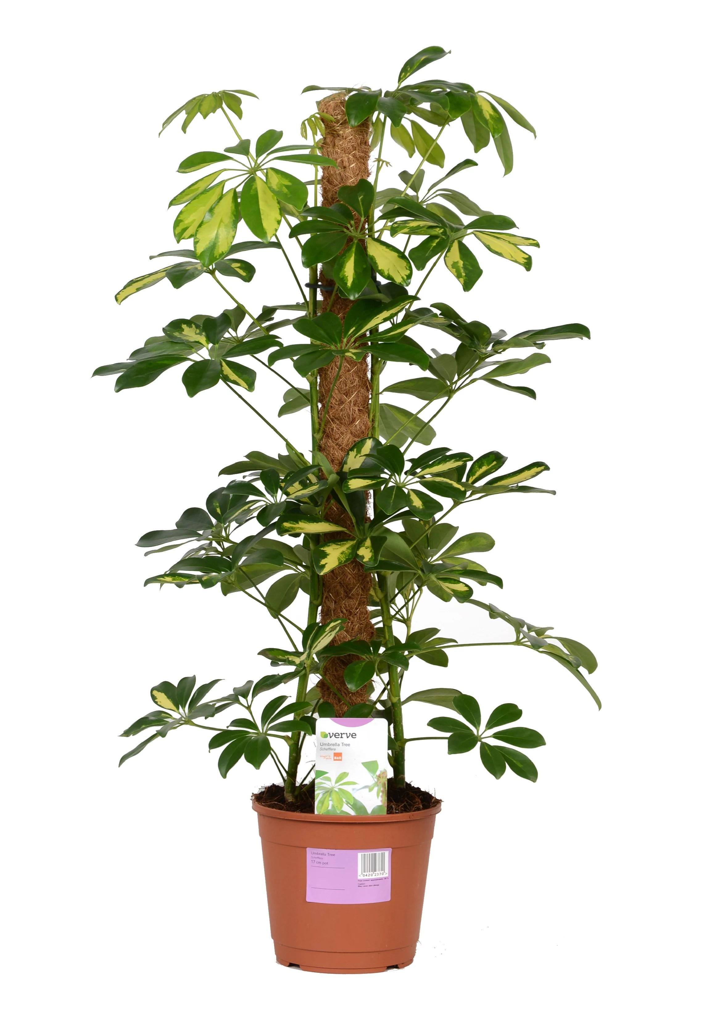 Verve Umbrella Tree In Plastic Pot Departments DIY At BampQ