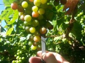 Chilean Grapes