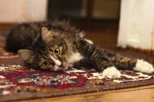 cat-relaxing-on-clean-rug