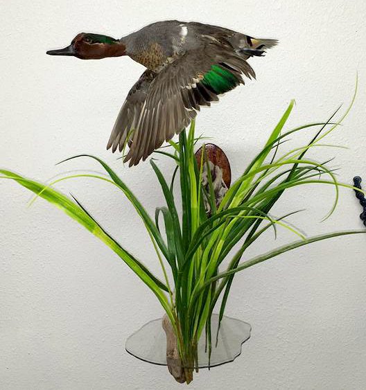 Down-Mount-Taxidermy-Taxidermist-Kingman-AZ-3