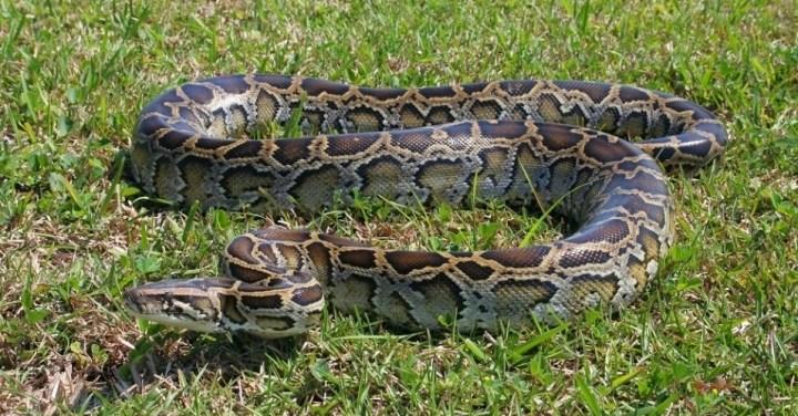 Maiores cobras do mundo