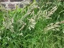 Yorkshire fog (Holcus lanatus)