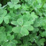 clover-with-droplets-2