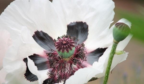 Robert Kiley on the White Poppy