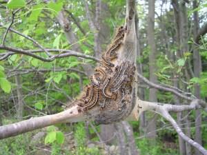 Eastern_Tent_Caterpillar_(tent_far)